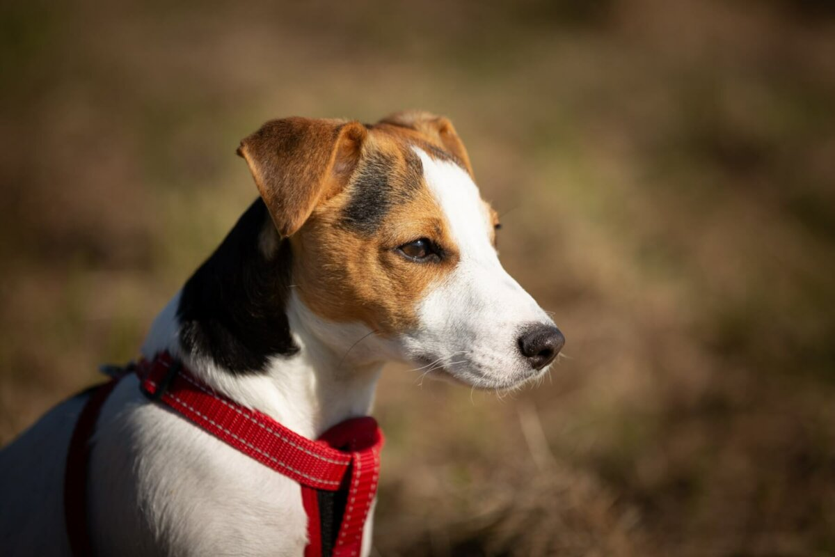 Smooth Coat Fox Terrier wearing a dog harness. Image credit James Frid