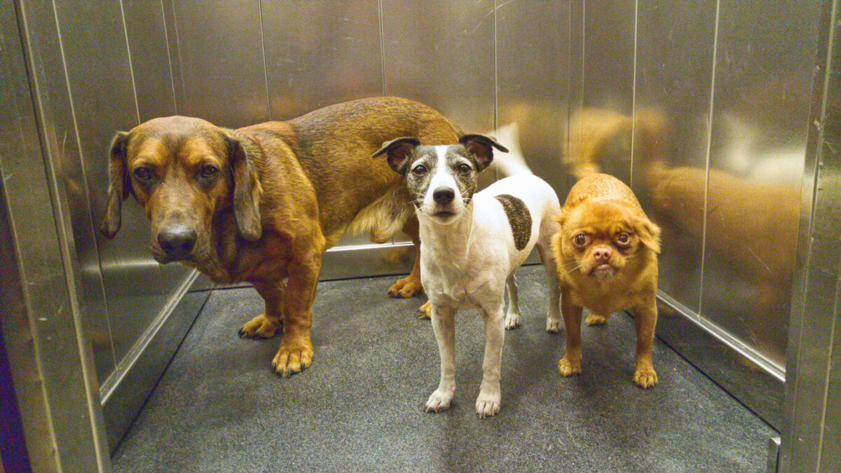 Three dogs standing in an elevator