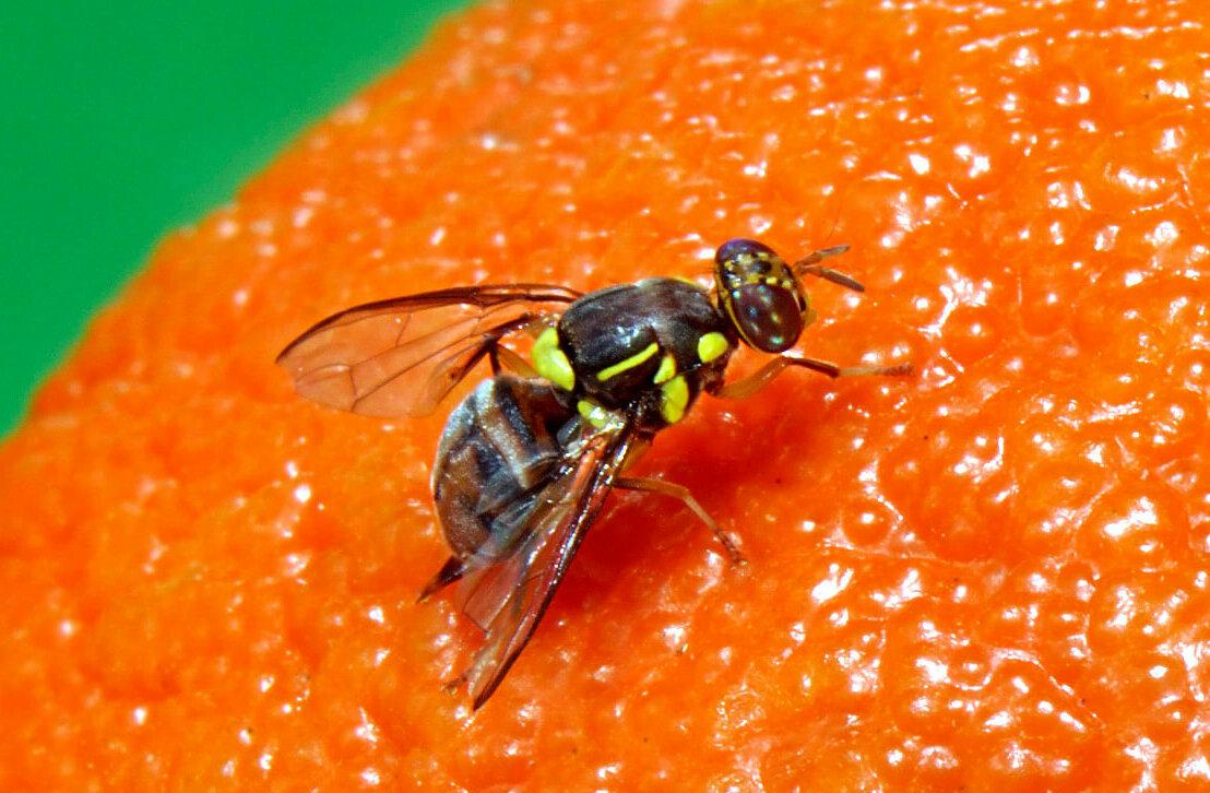 Fruit fly sitting on an orange. Photo Credit: FAO/IAEA